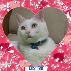 にほんブログ村 猫ブログ MIX白猫にほんブログ村</a><br /><br /><br /><br /><br /><a href=