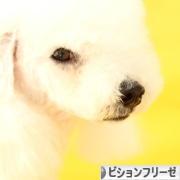 にほんブログ村 犬ブログ ビションフリーゼへ