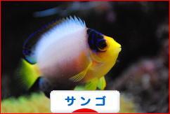 にほんブログ村 観賞魚ブログ サンゴへ