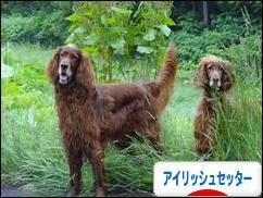 にほんブログ村 犬ブログ アイリッシュセッターへ