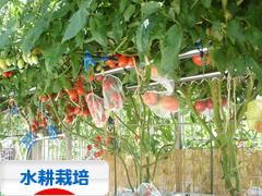 にほんブログ村 花ブログ 水耕栽培へ