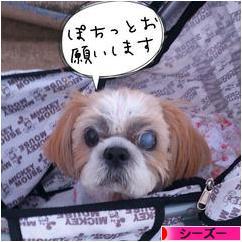 にほんブログ村 犬ブログ シー ズーへ