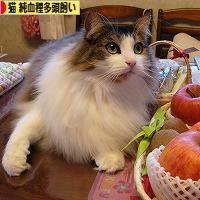 にほんブログ村 猫ブログ 猫 純血種多頭飼いへ