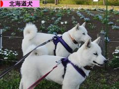 にほんブログ村 犬ブログ 北海道犬へ