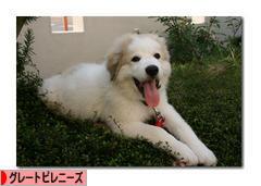 にほんブログ村 犬ブログ グレートピレニーズへ