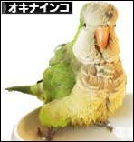 にほんブログ村 鳥ブログ オキナインコへ