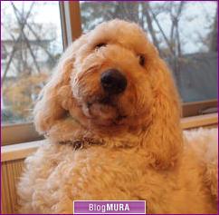 にほんブログ村 犬ブログ ゴールデンドゥードルへ