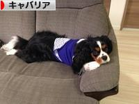 にほんブログ村 犬ブログ キャバリアへ