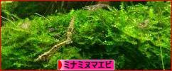 にほんブログ村 観賞魚ブログ ミナミヌマエ<div class=