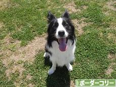 にほんブログ村 犬ブログ ボーダーコリーへ