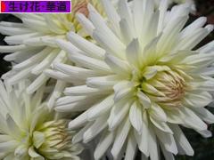 にほんブログ村 花・園芸ブログ 生け花・華道へ