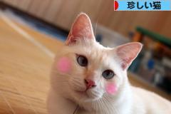 にほんブログ村 猫ブログ その他珍しい猫へ