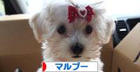 にほんブログ村 犬ブログ マルプーへ