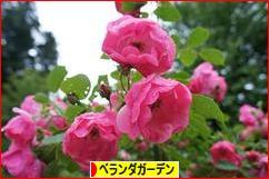 にほんブログ村 花・園芸ブログ ベランダガーデンへ