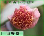 にほんブログ村 花ブログ 山野草・高山植物へ