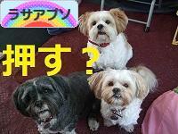 にほんブログ村 犬ブログ ラサアプソへ