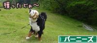 にほんブログ村 犬ブログ バーニーズマウンテンドッグへ