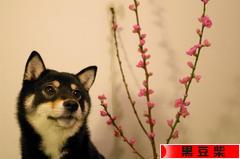 にほんブログ村 犬ブログ 黒豆柴へ