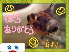 にほんブログ村 観賞魚ブログ 金魚へ