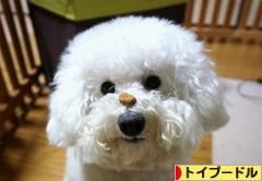 にほんブログ村 犬ブログ トイプードルへ