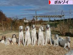 にほんブログ村 犬ブログ ボルゾイへ