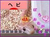にほんブログ村 その他ペットブログ ヘビ(スネーク)へ