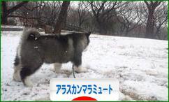 にほんブログ村 犬ブログ アラスカンマラミュートへ