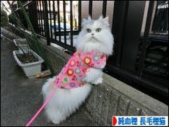 にほんブログ村 猫ブログ 純血種長毛種猫へ