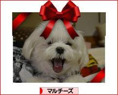 http://dog.blogmura.com/maltese/img/originalimg/0000537398.jpg