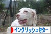 にほんブログ村 犬ブログ イングリッシュセターへ