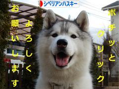 にほんブログ村 犬ブログ シベリアンハスキーへ
