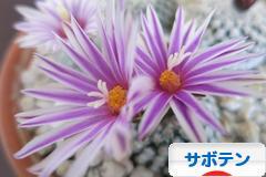にほんブログ村 花・園芸ブログ サボテンへ