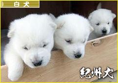 にほんブログ村 犬ブログ 白犬へ