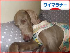 にほんブログ村 犬ブログ ワイマラナーへ