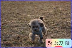 にほんブログ村 犬ブログ ティーカッププードルへ