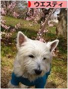 にほんブログ村 犬ブログ ウエスティへ