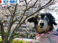 にほんブログ村 犬ブログ 老犬・高齢犬へ
