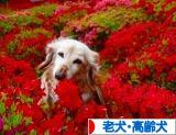 にほブログ村 犬ブログ 老犬・高齢犬へ