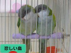にほんブログ村 鳥ブログ その他珍しい鳥へ