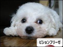 にほんブログ村 犬ブログ ビ ションフリーゼへ
