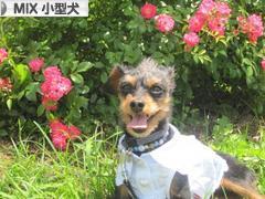 にほんブログ村 犬ブログ MIX小型犬へ