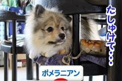 にほんブログ村 犬ブログ   <strong>ポメラニアンへ