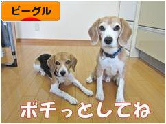 にほんブログ村 犬ブログ ビーグルへ