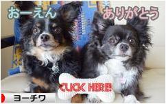 にほんブログ村 犬ブログ ヨーチワへ
