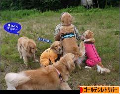 にほんブログ村 犬ブログ ゴールデンレトリバーへ