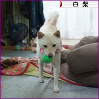 にほんブログ村 犬ブログ 白柴犬へ