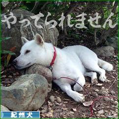 にほんブログ村 犬ブログ 紀州犬へ