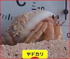 にほんブログ村 観賞魚ブログ ヤドカリへ