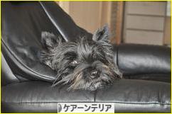にほんブログ村 犬ブログ ケアーンテリアへ