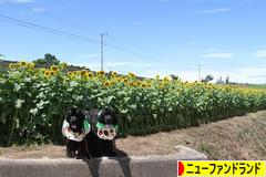 にほんブログ村 犬ブログ ニューファンドランドへ